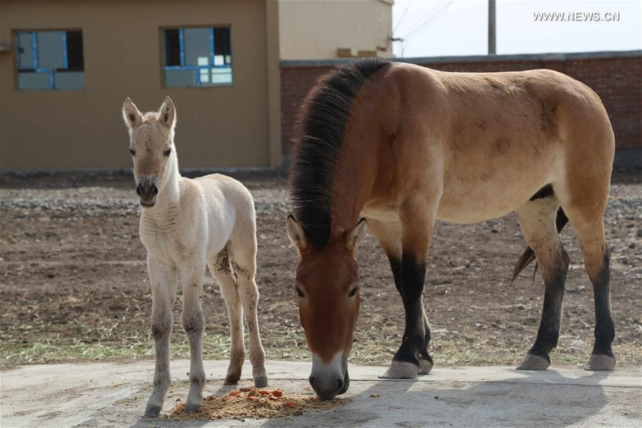 Two foals of rare Przewalski's horse born in Xinjiang