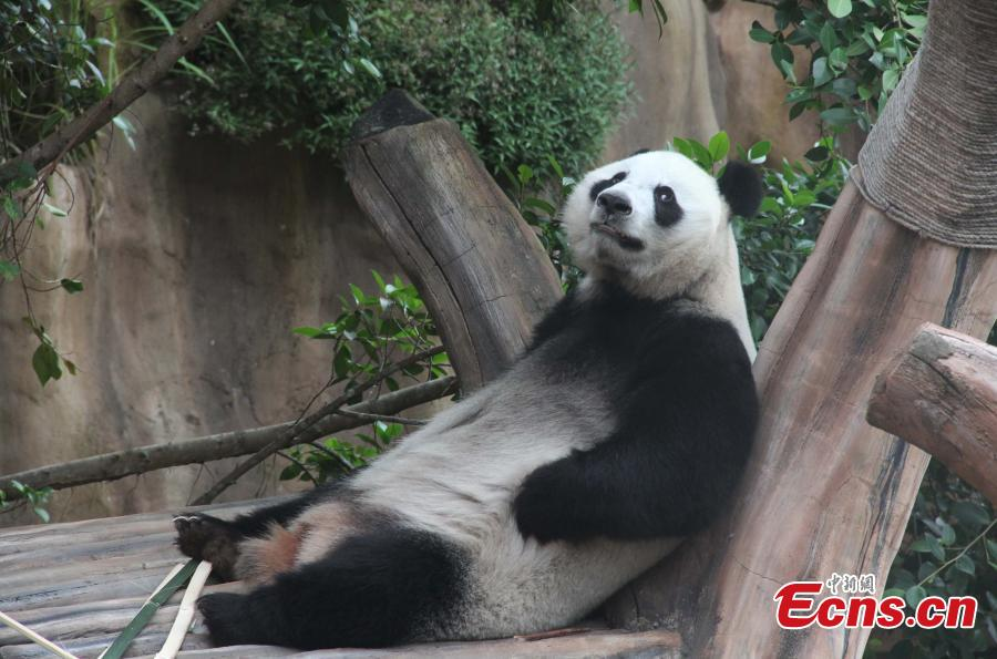 Pandas Hu Chun and Cai Tao ready for public debut in Indonesia