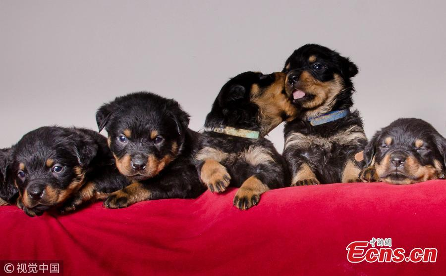 Rottweiler gives birth to one of Britain's biggest litters after having 15 puppies