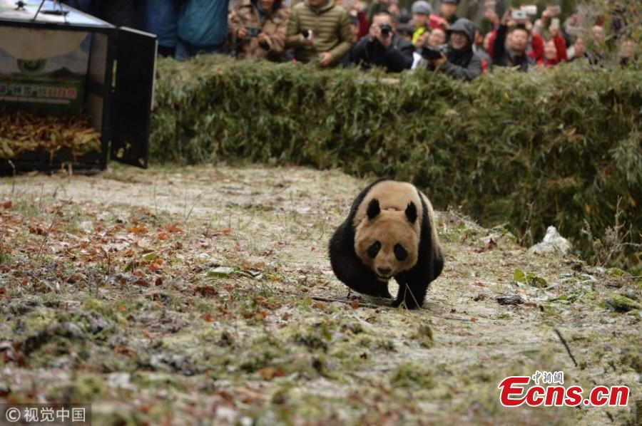 Giant panda pair released into wild
