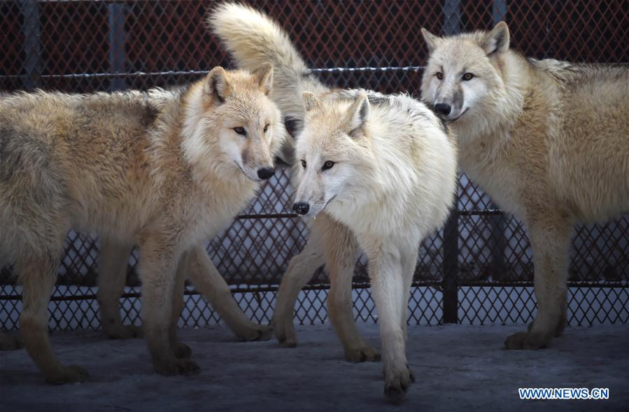 Five arctic wolves from Serbia introduced to park in Heilongjiang