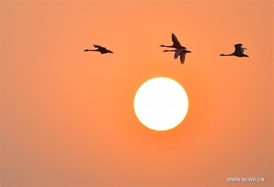 Swans fly past sun over farm at bank of Poyang Lake in China's Jiangxi
