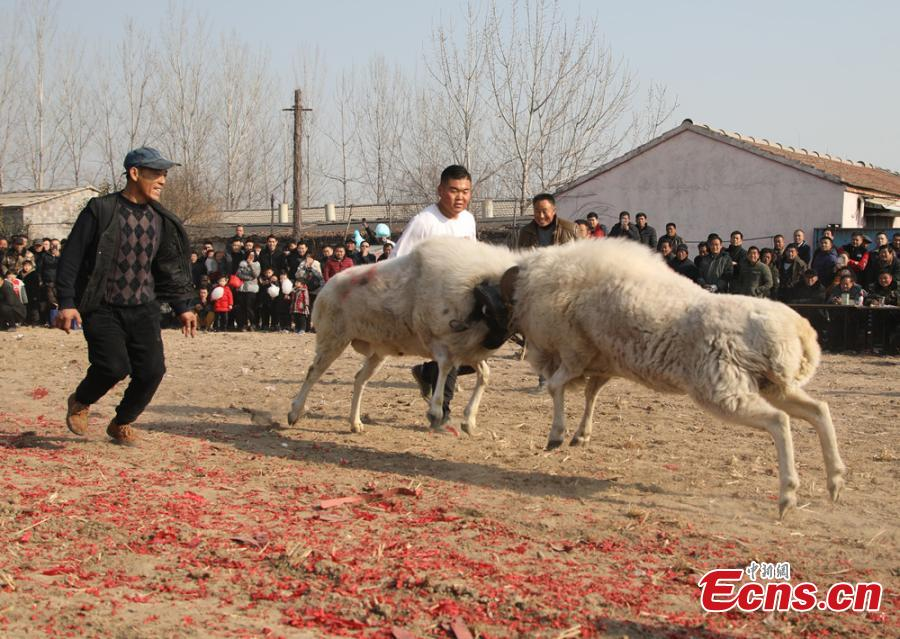 Sheep fight held in eastern province