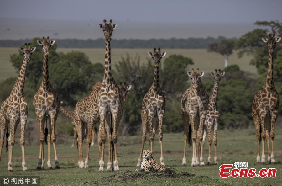 Cheetah takes it easy next to giraffes