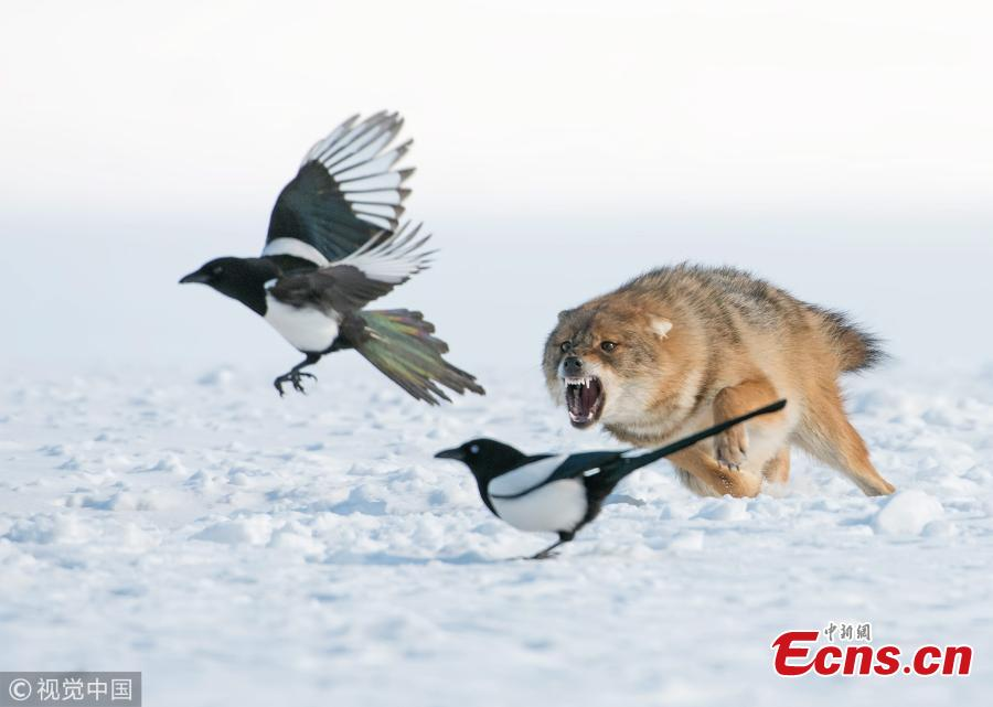 Golden jackal chasing bird in snow