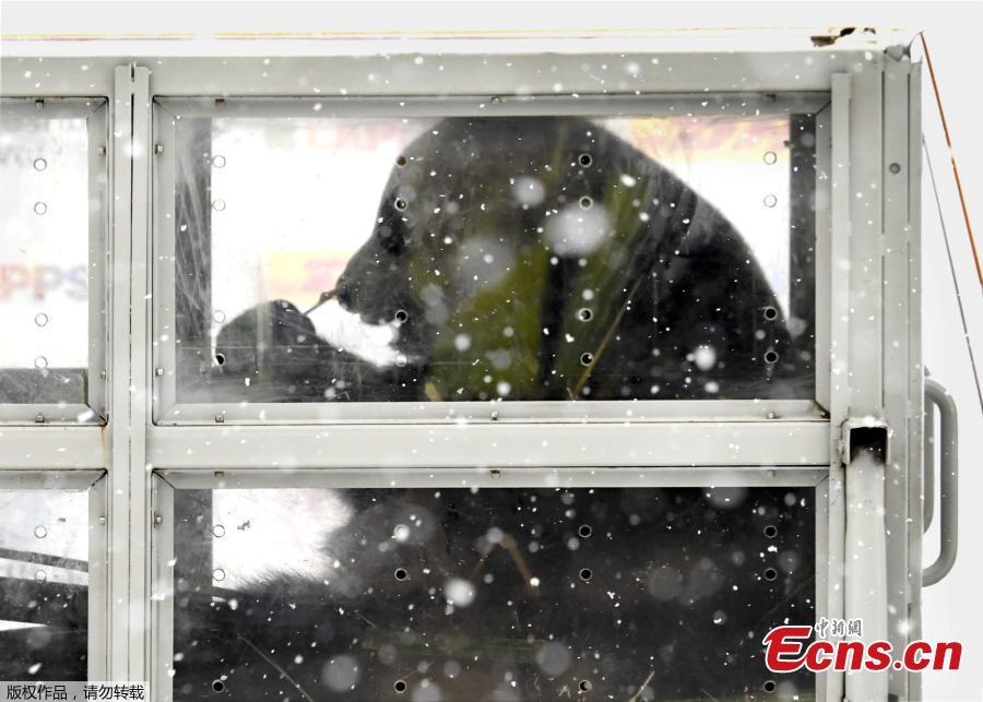 Heavy snowfall welcomes giant pandas arriving in Finland