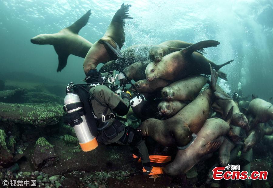 Pictures show sea lions performing like playful puppies underwater