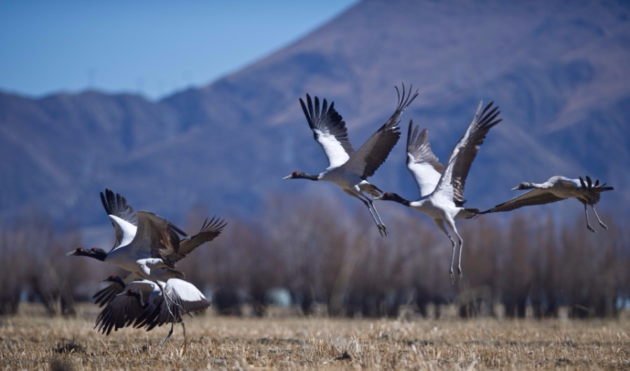 Tibet: Largest winter home for black-necked cranes
