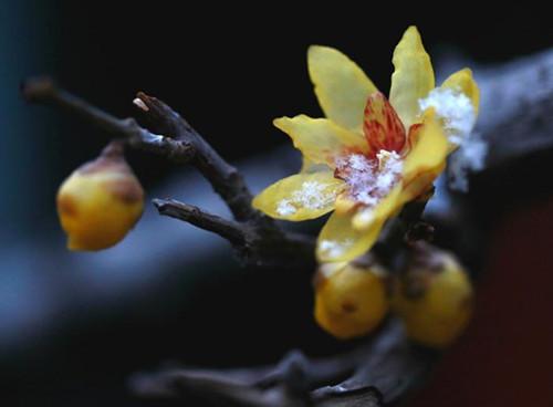 300-year-old wintersweet flowers bloom in Hebei