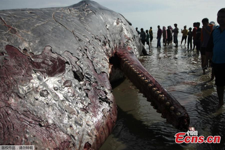 Dead sperm whale in Indonesia