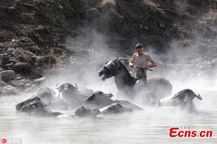 Water buffalos and horses washed in thermal spring in Turkey village