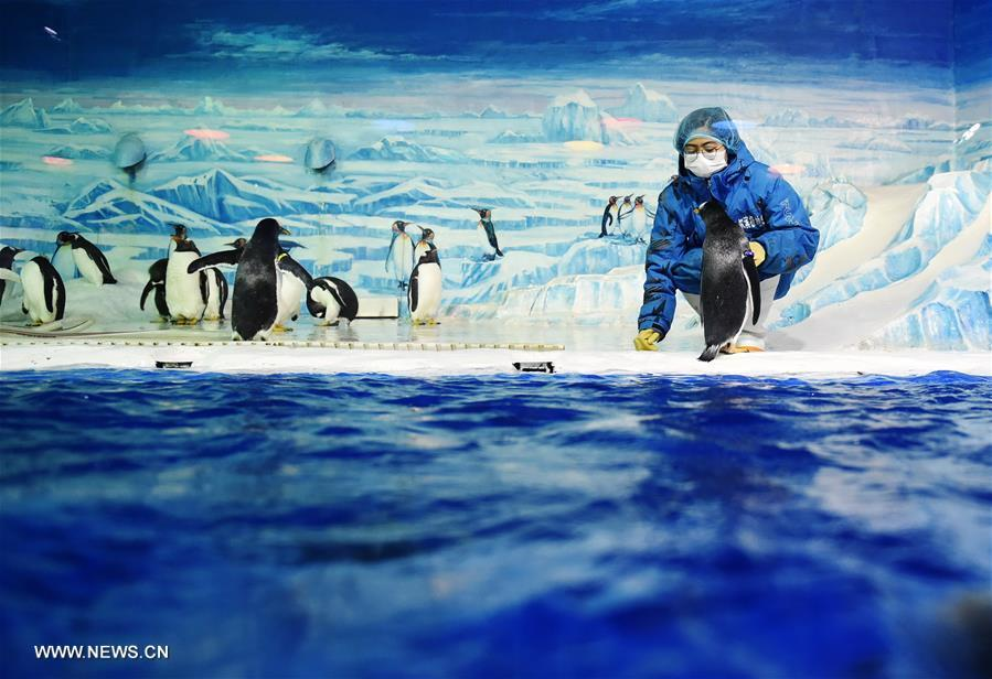 Pic story of Penguin feeder at China's Harbin Polarland