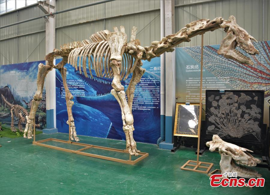 Giant fossil of hornless rhinoceros restored after three years
