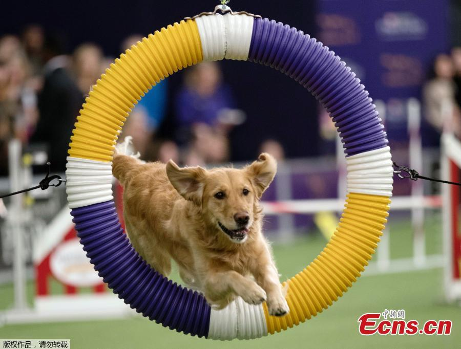 Dogs compete in Masters Agility Championship