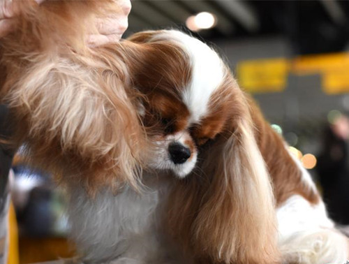 142nd Westminster Kennel Club dog show in New York