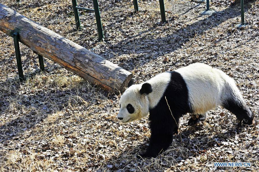 Giant panda enclosure open to public at Tianjin Zoo