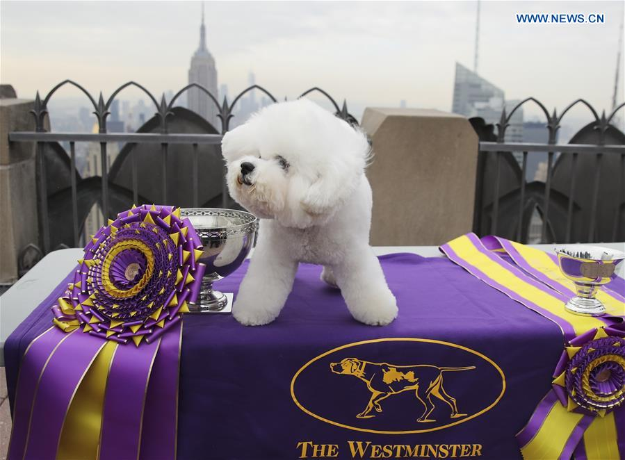 Bichon Frise wins at 2018 Westminster Kennel Club Dog Show in New York