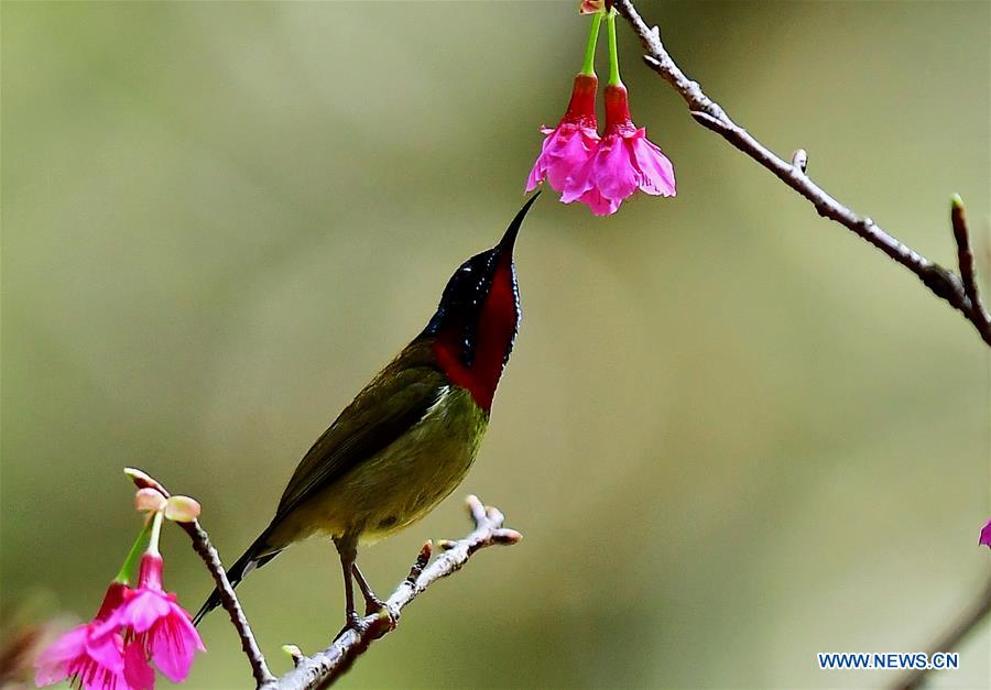 Fork-tailed sunbird gathers honey at Fuzhou National Forest Park, SE China