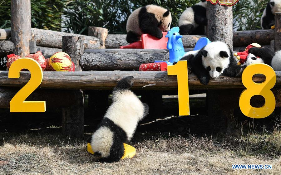 Giant pandas greet Chinese New Year in SW China's Sichuan