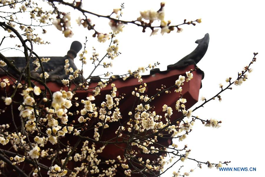 Blooming wintersweet flowers seen in Wuhan