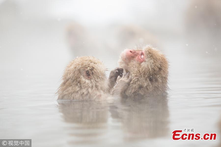 Japanese macaques enjoy hot spring