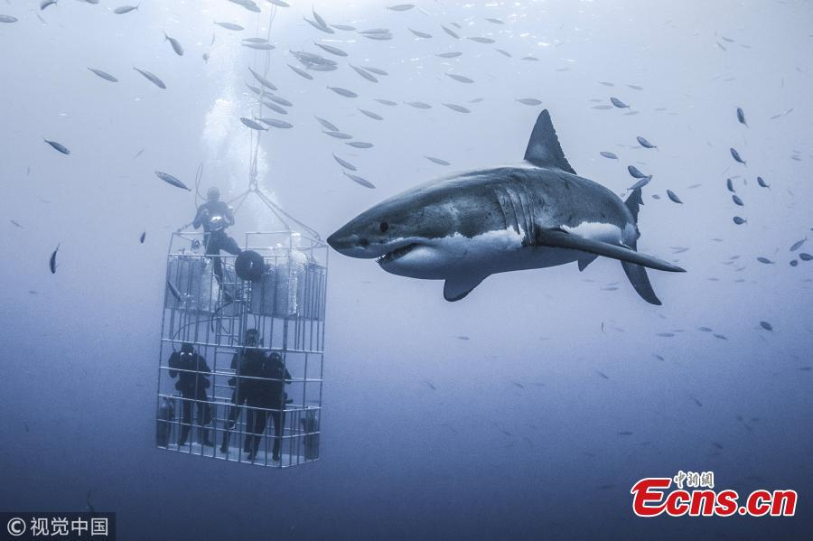Massive Great White shark dwarfs cage divers