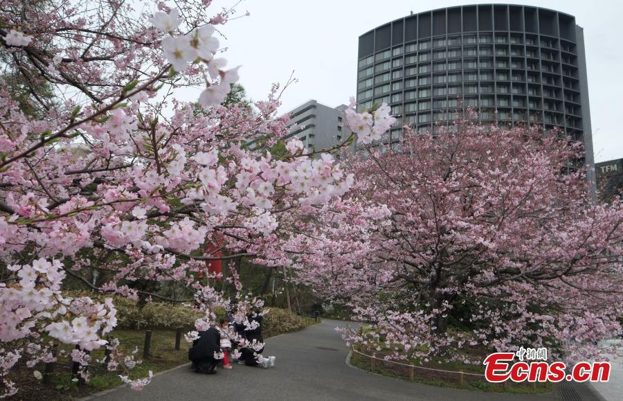 Tokyo cherry blossoms make early spring debut