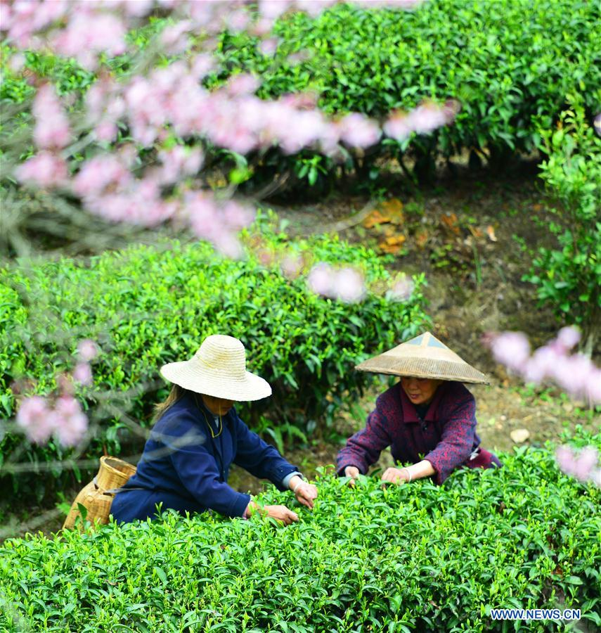 Farmers pick tea leaves across China