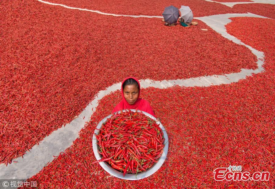 Chilli peppers turn land red in Bangladesh