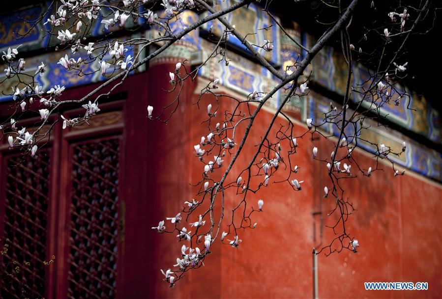 Magnolia flowers bloom at Tanzhe Temple in Beijing