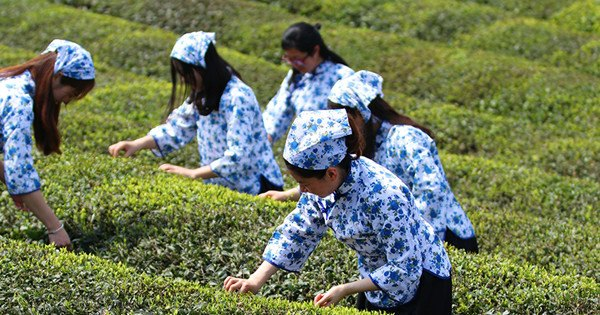 'Forest chiefs' can help Anhui tea fields thrive