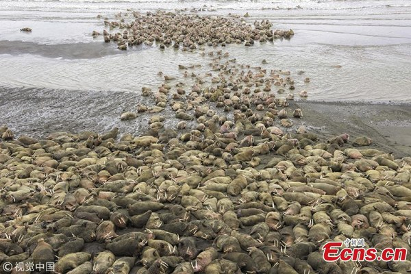 Thousands of giant walruses spotted in rare sighting in Alaska
