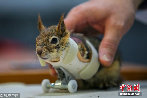 Turkish squirrel gets prosthetic arms