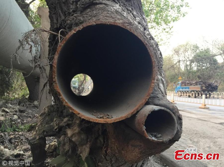 Tree with iron tubes inside still flourishing