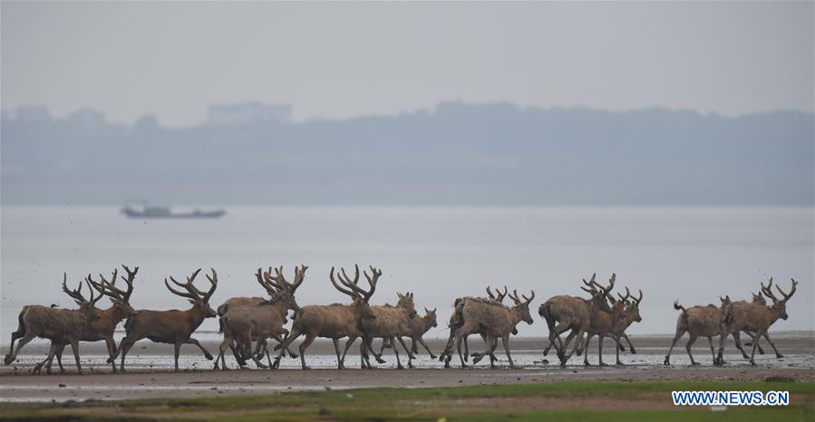 China releases 47 milu deer into wild in major lake