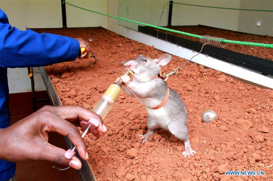 African giant pouched rats receive landmine detection training in Morogoro, Tanzania