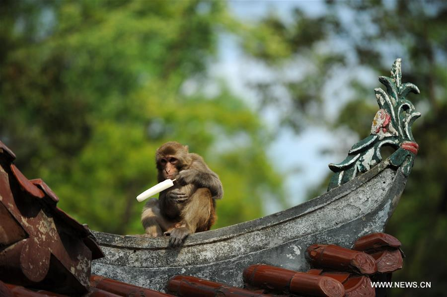 Macaques play in Qianlingshan Park, SW China