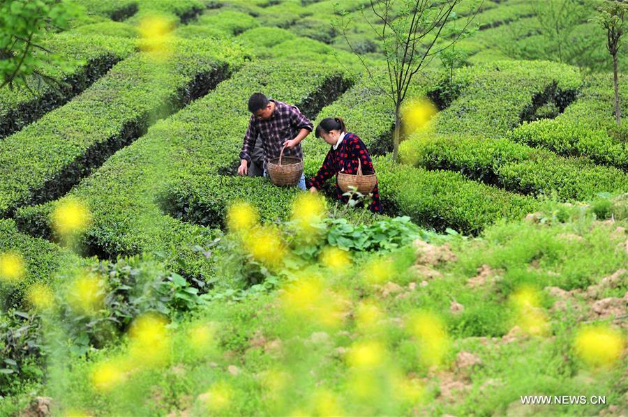 China embraces tea harvest season
