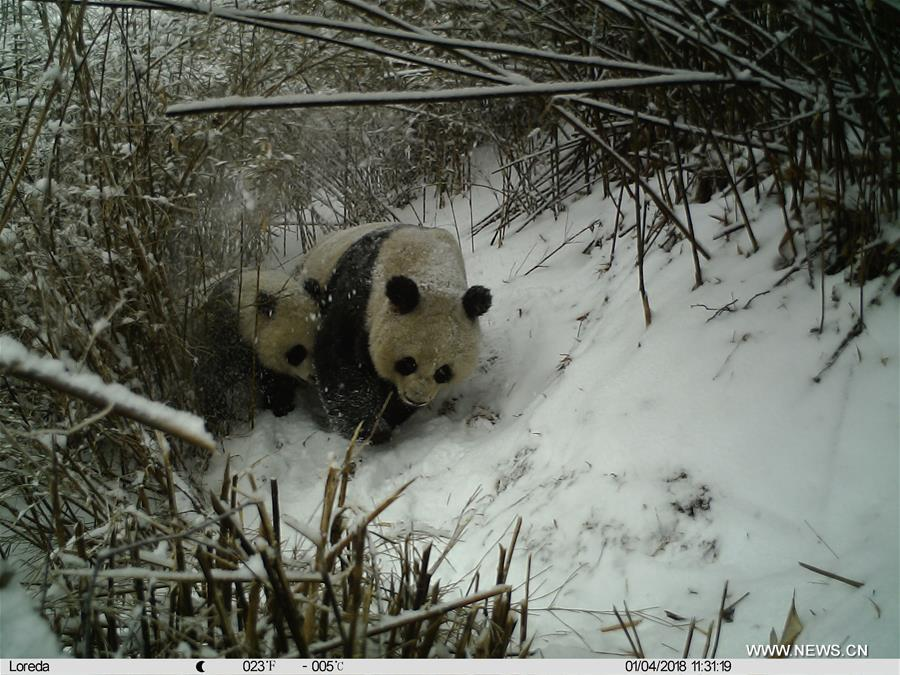 Female giant panda and its cub spotted in NW China