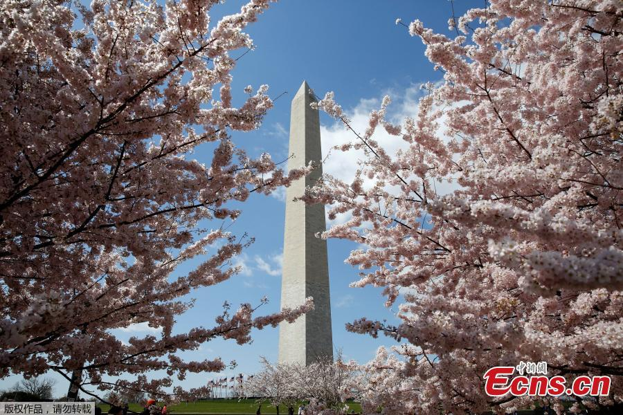 Cherry blossoms reach their peak in Washington