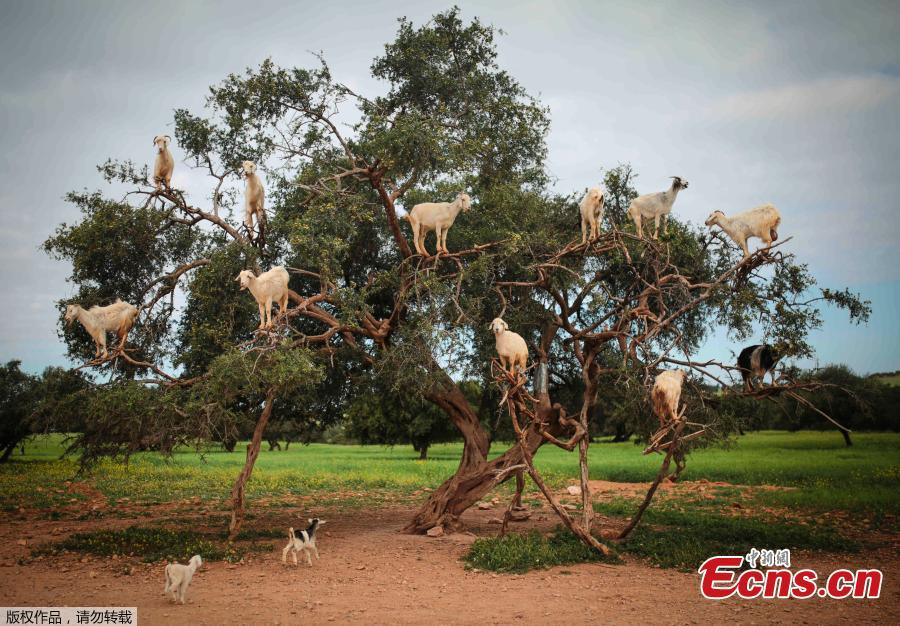 Tree climbing goats help produce Argan oil in Morocco
