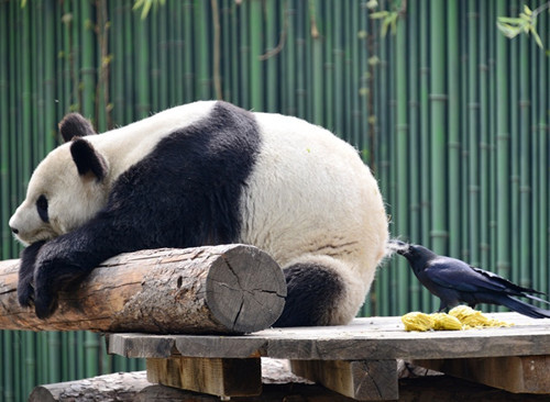 Crow plucks fur off panda's back