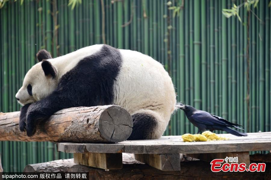 Crow plucks fur off panda's back