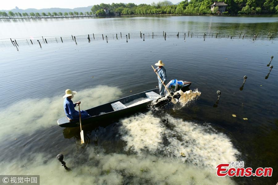 Cleanup starts in West Lake lotus area