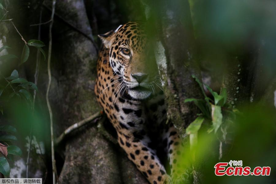 Brazilian jaguars survive Amazon flooding