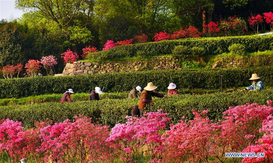 Growers harvest spring tea among azalea blossoms