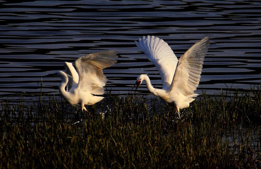Egrets enjoy springtime weather in Anhui