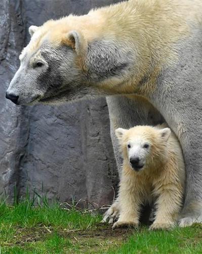 Adorable polar bear cub makes debut at zoo