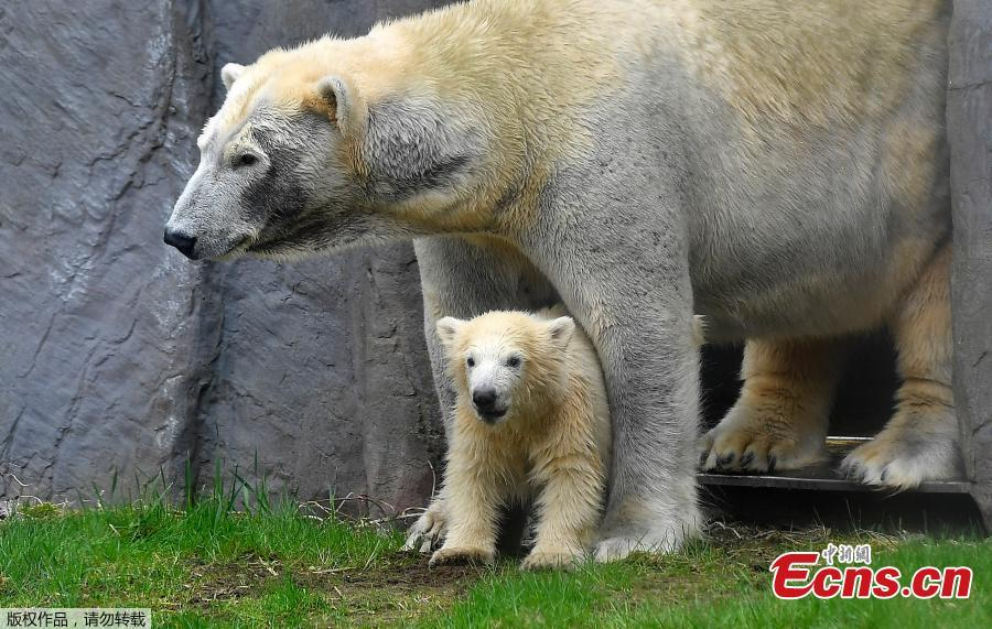 Adorable polar bear cub makes debut at zoo