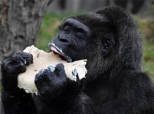 Fatou the gorilla celebrates 61st birthday at Berlin zoo